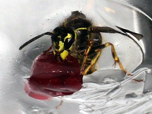 Wasp in a bottle
