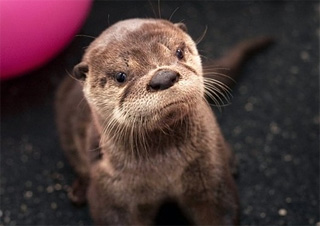 Disappointed sea otter